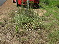Gomphrena celosioides plant9 (14440063409).jpg