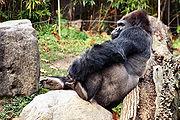 Gorilla 03-13.jpg