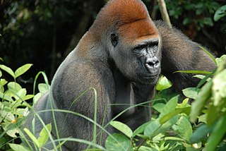 Agreement on the Conservation of Gorillas and Their Habitats