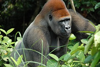 Agreement on the Conservation of Gorillas and Their Habitats - Silverback gorilla