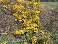 Gorse on the public footpath near Frankby Cottage, Wirral (2).JPG