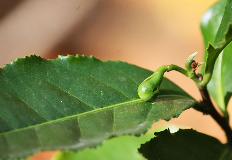 File:Grüner Tee (Camellia sinensis) Knospe (8153680776).jpg