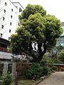 Grand camphor tree in Suikyo Temman Shrine.jpg