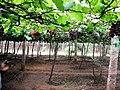 Grapes Plantation @ Cumbum, Theni - panoramio (2).jpg