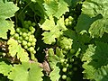 Grapes on the Vine - geograph.org.uk - 279773.jpg