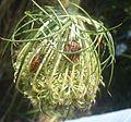 Graphosoma italicum.jpg