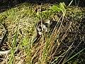 Grass snake (Natrix natrix).swe.jpg