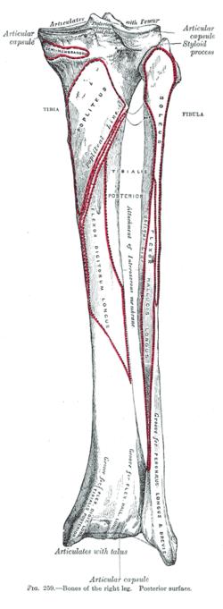 soleal line