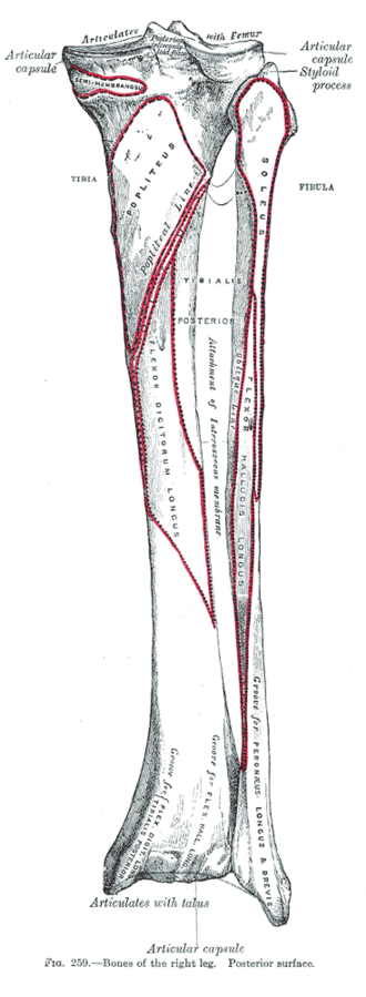 Soleal line - Bones of the right leg. Posterior surface. (Popliteal line visible at top center.)