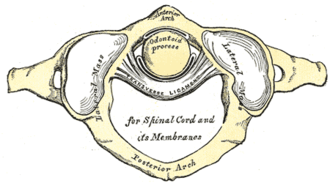 Transverse ligament of atlas - Articulation between odontoid process and atlas. (Transverse ligament visible at center.)