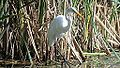 Great Egret (8382480102).jpg