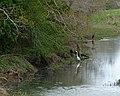 Great Egret in Dickinson Bayou Headwaters (5520539077).jpg