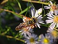 Great Golden Digger Wasp on Symphyotrichum praealtum.jpg
