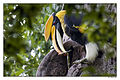 Great Hornbill (male) by N.A. Nazeer.jpg