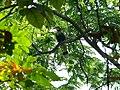 Great Hornbill - Buceros bicornis - P1030670.jpg