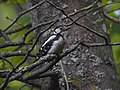 Great Spotted Woodpecker, Białowieża Forest, Poland (4664059907).jpg