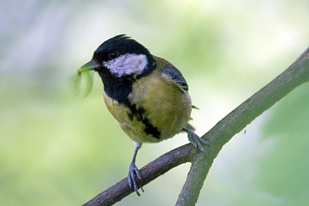 Great Tit Lodz(Poland)(js)19.jpg