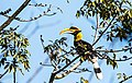 Great hornbill in Nepal PG 2019 02.jpg