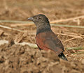 Greater Coucal (Centropus sinensis) - Immature at Hodal Iws IMG 1211.jpg