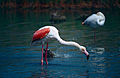 Greater Flamingoes (Phoenicopterus roseus) (14757988947).jpg