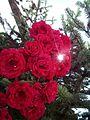 Greece Tripoli Roses.jpg