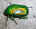 GreenScarabeidBangalore2.jpg