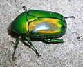 GreenScarabeidBangalore2.jpg