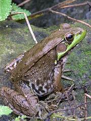 Green Frog Rana clamitans 2448px.jpg