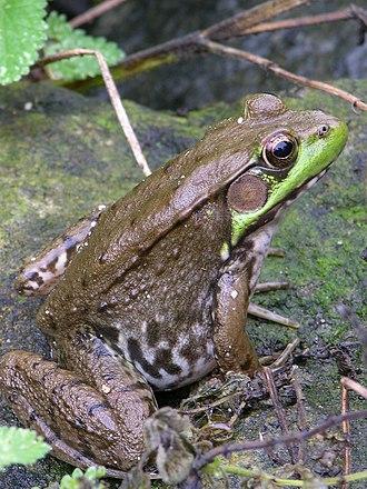 Lithobates clamitans - Image: Green Frog Rana clamitans 2448px