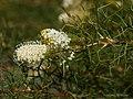Grevillea leucoclada (9193451754).jpg
