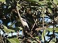 Grey Buschchat - Saxicola ferreus - DSC03946.jpg