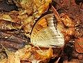 Grey Count Tanaecia lepidea by Raju Kasambe DSCN3072 (7).jpg