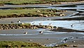 Greylag geese and Canada geese in Norrkila mudflats.jpg
