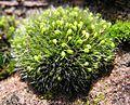 Grimmia pulvinata 2004.11.14 14.50.37.jpg