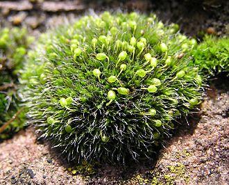 Cryptogam - Grimmia pulvinata, a moss