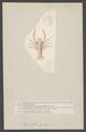 Grimothea gregaria - - Print - Iconographia Zoologica - Special Collections University of Amsterdam - UBAINV0274 006 02 0014.tif