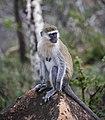 Grivet Monkey, Ethiopia (11402753086).jpg