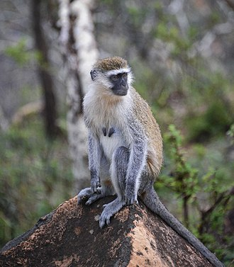 Grivet - female in Ethiopia