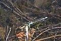 Große Pechlibelle Ischnura elegans 5782.jpg