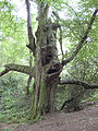 Grotesque beech, Forest of Dean - geograph.org.uk - 869093.jpg