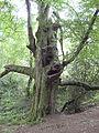 Grotesque beech, Forest of Dean - geograph.org.uk - 869093.jpg