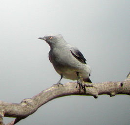 Ground Cuckoo-shrike atkinsons dec03.jpg