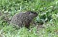 Groundhog (47852812531).jpg