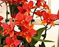 Guarisophleya Mingyang Golden Boy -台南國際蘭展 Taiwan International Orchid Show- (40822575671).jpg