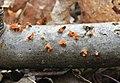 Guepiniopsis buccina 67788945.jpg