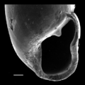 Gulella streptostelopsis shell 3.png