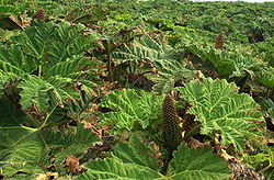 Image result for Gunnera tinctoria