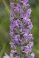 Gymnadenia conopsea coteau-charteves 02 23062007 3.jpg