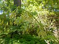 Gymnocladus dioica 2017-05-23 0485.jpg