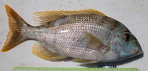 Gymnocranius - Image: Gymnocranius grandoculis JNC1246 (big specimen) Body